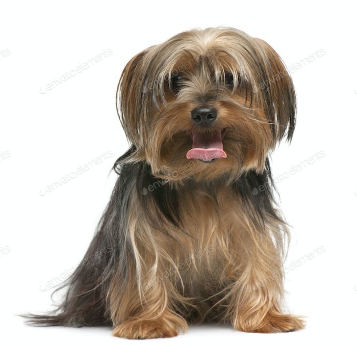 Yorkshire Terrier, 18 months old, sitting in front of white background